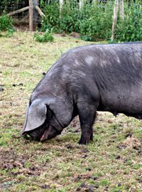 The Endangered Large Black Pig - Countryside Pig Breeds, Rare Breeds, Large Black Pig, Pig Ideas, Farm Projects, Hobby Farms, Extinct, Livestock, Pigs