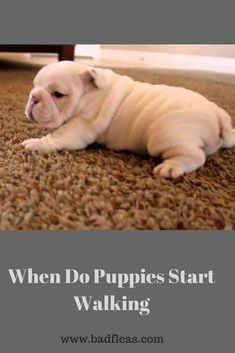 When do puppies start walking Under normal circumstances, puppies should start walking in their first 3 weeks from the day they were born. Best Dog Food, Best Dogs, Small Dog Breeds, Small Dogs, New Puppy, Puppy Love, Dog Rash, All About Puppies, Newborn Puppies
