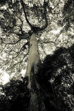 Tree, Belém, Brasil