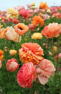 Orange and pink poppies