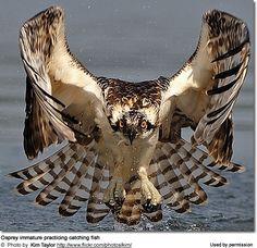 Beautiful juvenile osprey practicing fishing. Nesting Ospreys