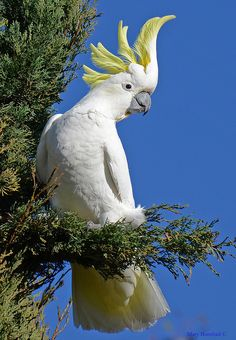 Sulpher-crested Cockatoo beauty
