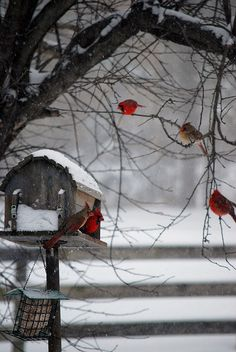 red cardinals playing in the  snow. Christmas is on its way.