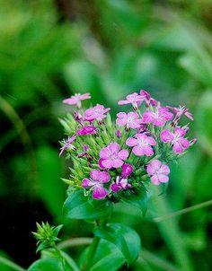 Dianthus japonicus ; Japan