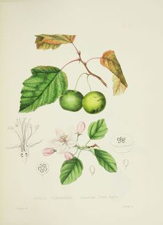 Asa Gray, Plates prepared between the years 1849 and 1859, to accompany a report on the forest trees of North America, 1891, American Crab Apple (not granny smith i know)