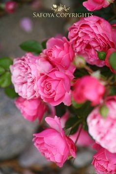 I love the Da Vinci Roses the smell so good :D   'Leonardo da Vinci ' Rose Photo