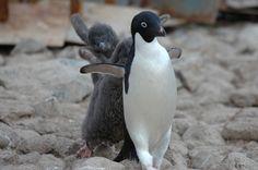 foto's van adéliepinguins updates de foto's van adeliepinguins koppels, jongen, enz De foto's van adéliepinguins die wij u kunnen aanbieden kunnen nooit de charme van een wiggelende pinguin geven als …