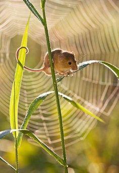 H = Harvest Mouse