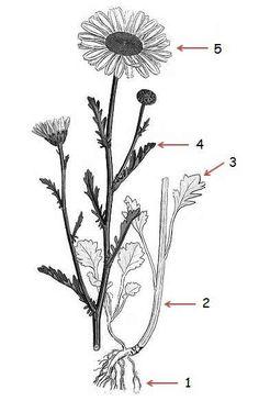 daisy botanical drawing - Google Search