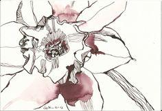 Narzissen, Kunst und die Geisteswissenschaft - Zeichnung von Susanne Haun