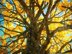 """É setembro. O início do tão conhecido b-r-o-bro. Mas não é o calor do sol que mais aquece o teresinense. Nesta época do ano, todos os olhares se voltam para a majestosa florada dos ipês, que enchem a cidade de cor e colocam um brilho amarelo ouro no céu azul da cidade.O ipê, também conhecido como pau d'arco, é uma planta originária do Brasil e floresce em diversas cores: amarela, roxa, branca e rosa.  """"Por ser uma planta nativa, o ipê é mais rústico, não precisando de muitos cuidados. Em…"""