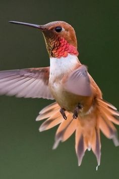 Rufous Hummingbird. ~~$695WK ~ Stay at Hummingbird Ranch Vacation House in…