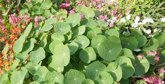 Tato malá nenápadná bylina v sobě ukrývá sílu antibiotik Spinach, Masky, Herbs, Vegetables, Plants, Gardening, Cooking, Kitchen, Lawn And Garden