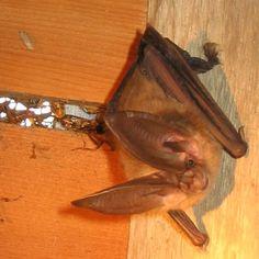 Community Bat Programs of BC