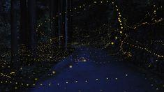 Firefly !! 「日本のホタル」:幻想的な写真が世界で人気 « WIRED.jp 世界最強の「テクノ」ジャーナリズム
