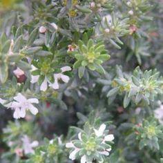 Westringia fruticosa nombre popular tipolog a arbusto de for Arbustos de hoja perenne resistentes al frio