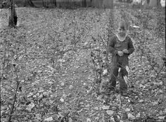 Cotton patch in stony soil which is characteristic of a good part of the Crabtree Creek recreational demonstration area near Raleigh, North Carolina. Library of Congress Prints and Photographs Division. Marine Barracks, Gaston County, Grapes Of Wrath, Elizabeth City, Dust Bowl, Biltmore Estate, New River, Beautiful Places To Visit, Wedding Pictures