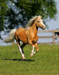 Welsh Cob Pony - 1st Most Beautiful Horses For Kids -
