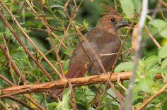 A young cardinal. See more pics from the Yamato Scrub at https://flic.kr/s/aHsjYLZPg5. http://smalagodi.tip.me www.onename.io/malagodi