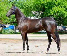 A Kingdom of Horses Akhal Teke Horses, Warmblood Horses, Most Beautiful Horses, Animals Beautiful, Cute Animals, Cute Horses, Pretty Horses, Horse Pictures, Cute Animal Pictures