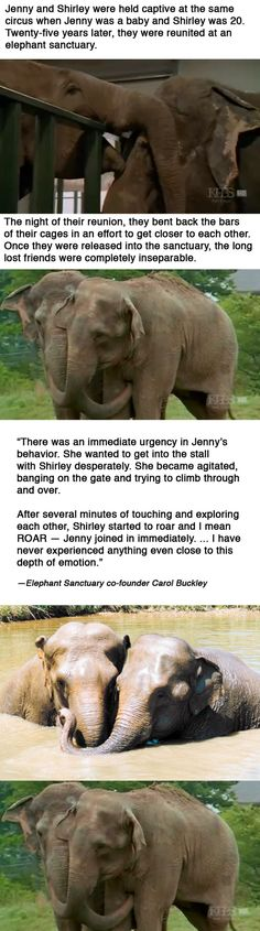 Shirley & Jenny~  These abused circus elephants were reunited 25 years later at an elephant sanctuary. Their story is moving.