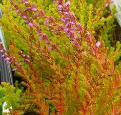 Calluna vulgaris Aurea