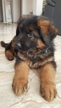 GSD Puppy #GermanShepherd