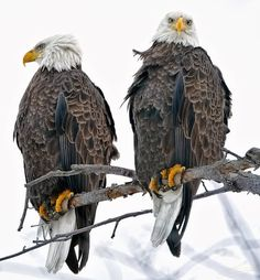 Two bald eagles sitting in a tree