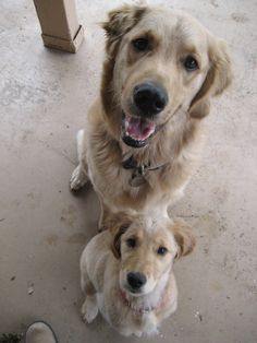 #goldenretriever #puppy - Our Mr. Nemo (the #OneEaredWonderDog) and our new Ms. Shiloh <3