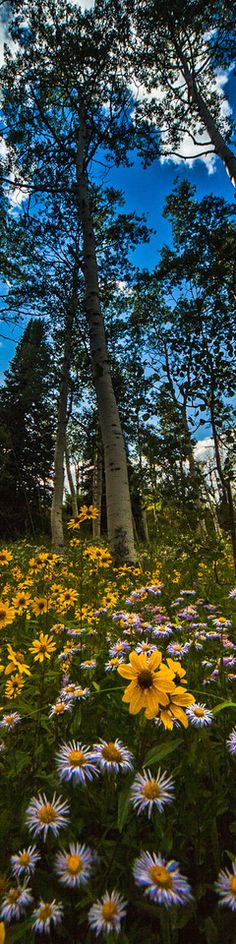 colorado wildflowers  -  photo by thomas o'brien
