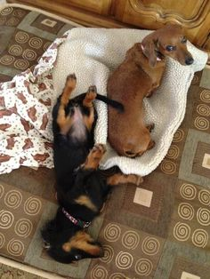 Really do I have to share my bed with the pup too??? (Wow!, these 2 could be our dachshunds twins!)