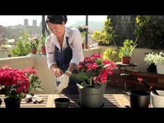 Plantación y cuidado de hortensias