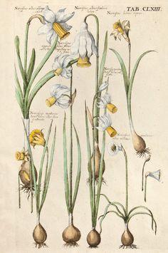 Michael Valentini - Viridarium Reformatum, seu Regnum Vegetabile: Krauter Buch (Newly Revised Garden of the Plant Kingdom: Herb Book), 1719 - Tab. CLXIII: Narcissus albus oblongo calice, Narcissus albus fimbria lutea, Narcissus luteus repens, Narcissus angustifolius albus calice et longo flores reflexo, Narcissus montanus Juncifolius calice flavo, Narcissus montanus Juncifolius alter flore fimbriato, Narcissus montanus albus minimus.