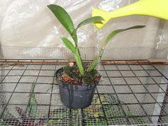 Ao começarmos a cultivar orquídeas, há sempre aquela dúvida quantas vezes ao dia ou por semana devo regar as orquídeas, devo deixá-las...