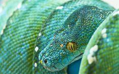 Download wallpapers blue python, blue snake, green python, Morelia viridis, Indonesia