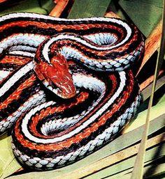 ˚San Francisco Garter Snake