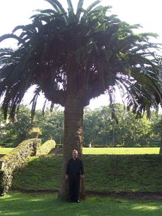 A huge CYCAD at the botanical gardens in Durban, Kwazulu Natal, South Africa
