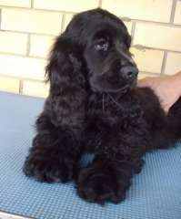English Cocker Spaniel Pup ~ Classic Look & Trim English Cocker Spaniel Puppies, Black Cocker Spaniel, American Cocker Spaniel, Puppies And Kitties, Baby Puppies, Doggies, Spaniel Breeds, Dog Breeds, Field Spaniel