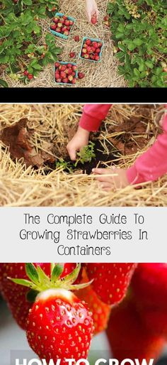 So how difficult is it really to grow strawberries in containers? Strawberries are sweet and juicy when they are picked right from the plant. Check out this complete guide to growing your own strawberries in containers right now! Potted Strawberry Plants, Raspberry Plants, Strawberry Garden, Strawberry Fruit, Types Of Strawberries, Growing Strawberries In Containers, Growing Vegetables In Containers, Strawberry Price, Everbearing Strawberries
