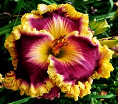 Castle Rock Daylily