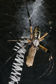 Female Garden Spider with Moth/Meal by TrombaMarina, via Flickr