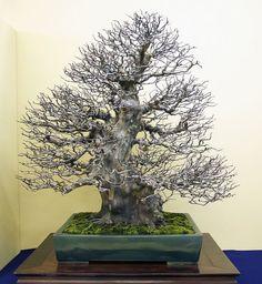 Pseudocydonia sinensis #bonsaitrees