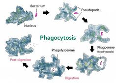 Diagram of amoeba engulfing a particle of food by phagocytosis by Kate Taylor wikipedia commons Alkaline Diet Plan, Acid And Alkaline, Alkaline Foods, Nutrient Cycle, Dr Sebi Recipes, Human Body Organs, Blood Type Diet