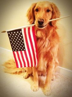 For the land of the free and the home of the brave. | Community Post: 60 Times Golden Retrievers Were So Adorable You Wanted To Cry