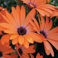 Orange Symphony Osteospermum hybridDaisy flowers all season; excellent early spring and fall plant; low maintenanceDeadheading Not Necessary