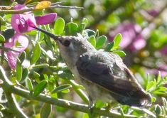 This young Hummingbird was sitting on the branches and sipping nectar from the Pickeringia montana.  Maybe named after Lord Pickering? - grid24_12