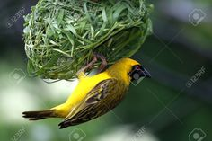 Stock Photo - Masked Weaver Bird hanging from it's nearly completed nest
