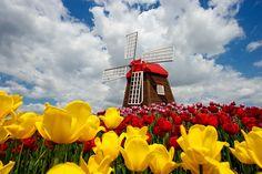 Windmill and tulips | MIRIADNA.COM