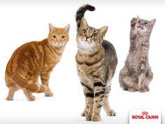 Diese Katzenrasse kommt in fast jeder Farbe und Zeichnung vor. Ihr kurzes, dichtes Fell ist leicht zu pflegen. Außer in der Haarungszeit ist einmal bürsten pro Woche völlig ausreichend.