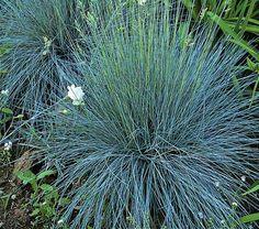 Festuca glauca Elijah Blue - White Flower Farm